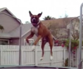 Photo of a jumping dog.